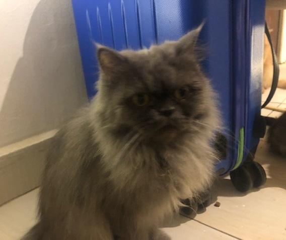 perzische kat adopteren asiel buitenland