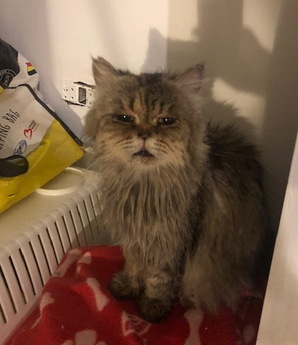 oude kat adoptie dierenasiel
