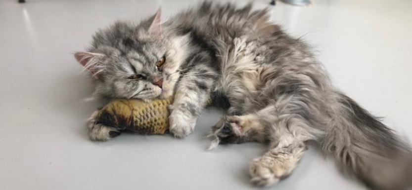 kat catnip vis spelen